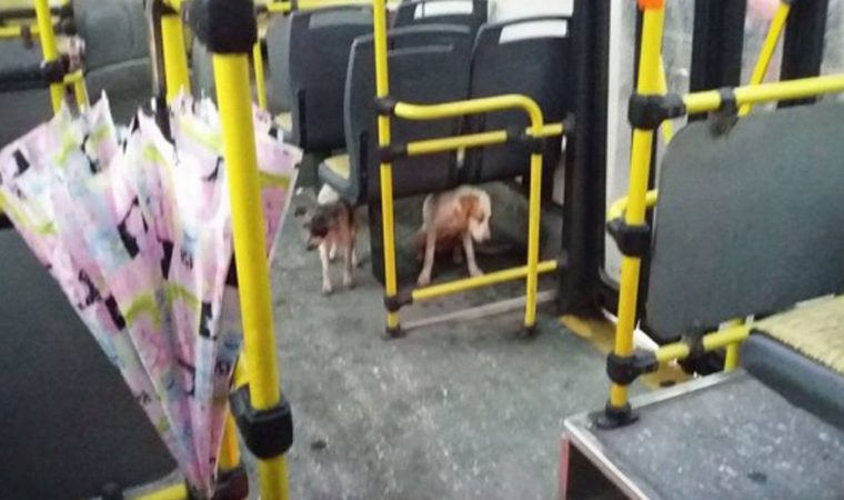 Motorista permite que cães de rua subam no ônibus durante chuvas fortes