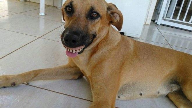 """Cachorra acha dentadura, encaixa na boca e quase """"mata o dono"""" de rir"""